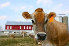 De koe van Jersey in een weiland Royalty-vrije Stock Foto