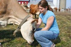 De koe van Jersey in een weiland Stock Foto