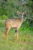 De Koe van Kudu royalty-vrije stock afbeelding