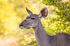 De Koe van Kudu Royalty-vrije Stock Fotografie