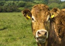 De Koe van Limousin Stock Foto's