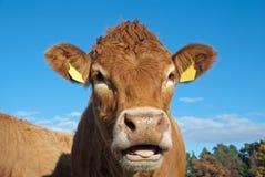 De koe van Limousin Stock Afbeeldingen