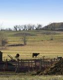 De Koe van Lowing bij een Afstand Stock Foto