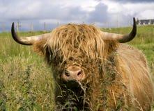 De koe van Schotland in hooglanden Stock Foto