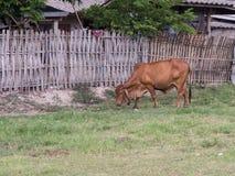 De koe van Thailand Stock Afbeeldingen