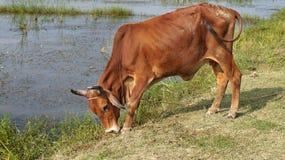 De Koe Weidende & Golvende Staart van India/van Bangladesh Royalty-vrije Stock Afbeelding