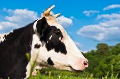 De koe weidt Royalty-vrije Stock Afbeelding