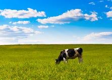 De koe weidt Royalty-vrije Stock Afbeeldingen