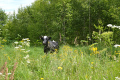 De koe weidt en eet grasweide Stock Afbeeldingen