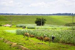 De koeien achter een gebied van graan royalty-vrije stock afbeelding