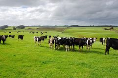 De koeien in boerderij Royalty-vrije Stock Foto's