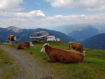 De koeien die op hoogte rusten alpen berg stock afbeelding