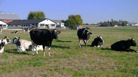 De koeien die van het Amishlandbouwbedrijf van een zonnige dag op de gebieden genieten stock footage