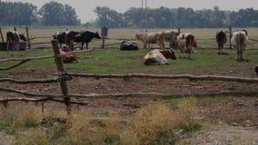De koeien in drijven bijeen stock videobeelden
