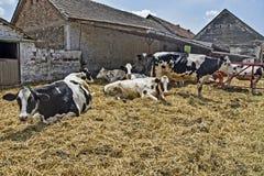 De koeien in drijven bijeen Royalty-vrije Stock Afbeeldingen