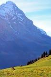 De koeien en alpen weide Stock Foto