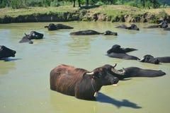 De koeien en de buffels zijn belangrijk voor melk en het vetmesten Royalty-vrije Stock Foto's