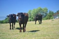 De koeien en de buffels zijn belangrijk voor melk en het vetmesten, Stock Afbeelding