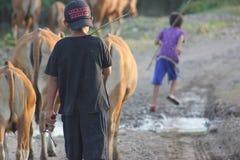 De Koeien en de cowboys Stock Afbeeldingen