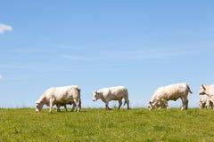 De koeien en de kalveren van Charolais op de horizon Royalty-vrije Stock Foto