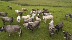 De koeien en de kalverenmadeliefje van satellietbeeldbazadaise in de weide, Gironde stock fotografie
