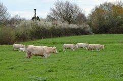 De koeien en voert op stock afbeeldingen
