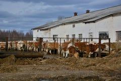 De koeien eten een hooi op veelandbouwbedrijf in Rusland Royalty-vrije Stock Afbeelding