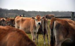 De koeien in het weiland drijven bijeen Stock Foto