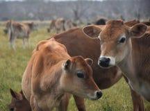 De koeien in het weiland drijven bijeen Stock Foto's