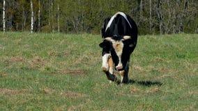 De koeien kauwen gras op het gebied stock videobeelden