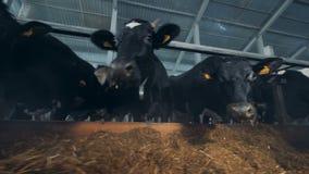 De koeien kauwen hooi in een koeiestal stock footage