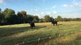 De koeien komen naar huis op een zonnige dag, koeien het lopen stock videobeelden