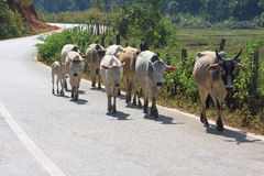De koeien liepen op de weg Stock Foto