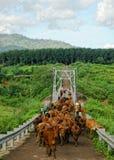 De koeien op weg in Verbod trekken stad, Daklak, Vietnam aan Royalty-vrije Stock Fotografie
