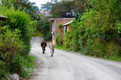 De koeien schijnen om te weten waar zij gaan Royalty-vrije Stock Afbeelding