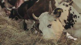 De koeien in de schuur eten hooi stock video