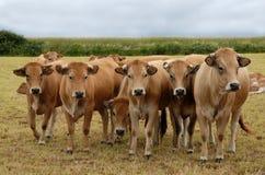 De koeien van Aubrac stock afbeelding