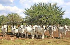 De koeien van de brahmaan royalty-vrije stock afbeelding