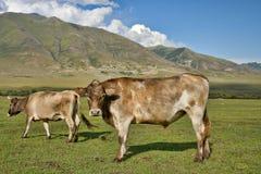 De koeien van de familie Royalty-vrije Stock Foto