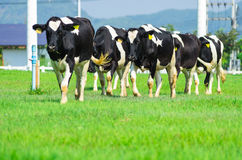 De koeien van de melk Royalty-vrije Stock Afbeelding