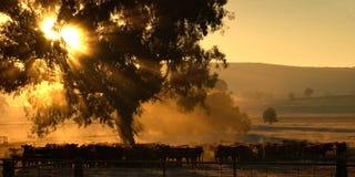 De koeien van de ochtend Stock Foto's