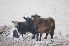 De Koeien van de sneeuw Royalty-vrije Stock Fotografie