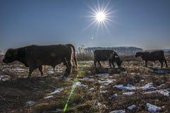 De koeien van Galloway stock foto's