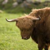 De koeien van het hoogland Stock Foto's