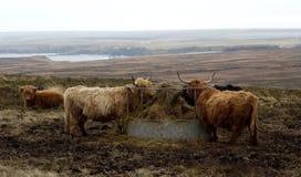 De Koeien van het hoogland stock afbeeldingen