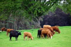 De Koeien van het kruid royalty-vrije stock afbeelding