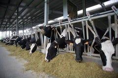 De koeien van Holstein Royalty-vrije Stock Fotografie