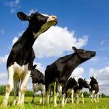 De koeien van Holstein het snuiven Royalty-vrije Stock Foto's