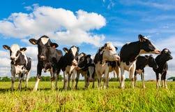 De koeien van Holstein in het weiland stock foto's