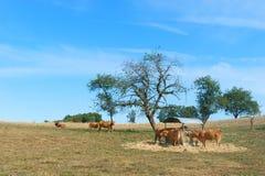 De koeien van Limousin Royalty-vrije Stock Afbeeldingen